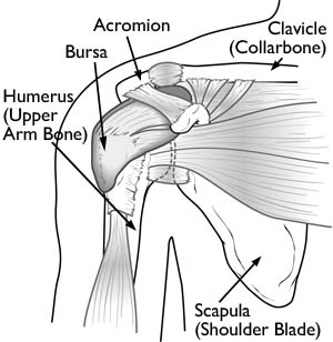 shoulder anatomy normal